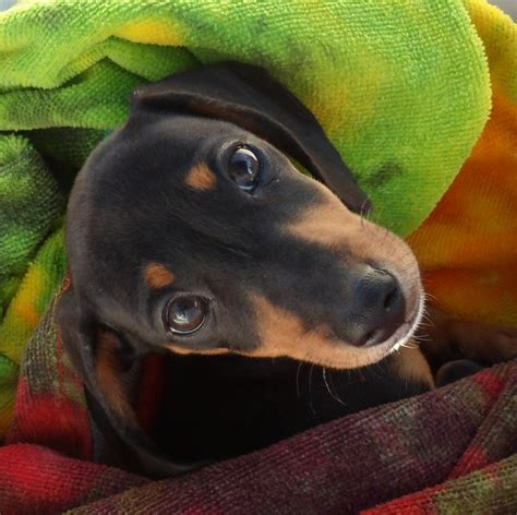 dachshund puppies for sale in iowa pin dachshund puppies for sale in wapello iowa classifieds on