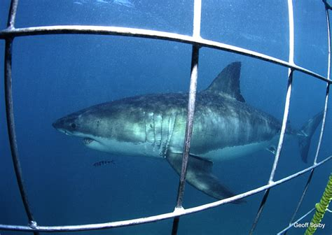 cage dive with sharks shark cage diving tours cape town