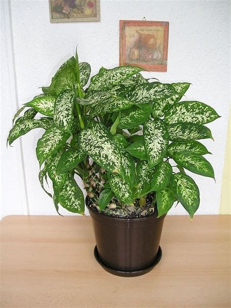 large houseplants dieffenbachia houseplant growing and care of dumbcane