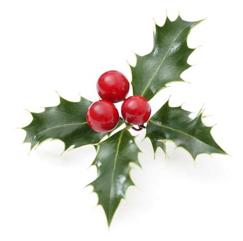christmas leaf is poisonous to dogs and cats plant poisoning
