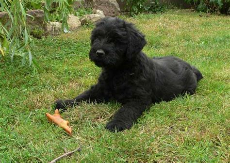 puppy in russian russian black terrier mix puppies breeds picture
