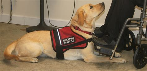 what are service dogs trained to do purposefull paws mobility autism diabetic alert hearing dogs purposefull paws