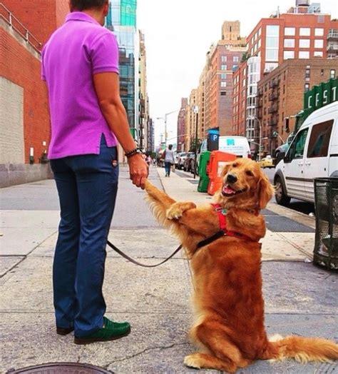 louboutina golden retriever meet louboutina the golden retriever who gives hugs to literally everyone she meets