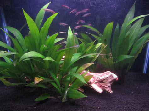 amazon sword aquarium basics let s talk about amazon sword plants