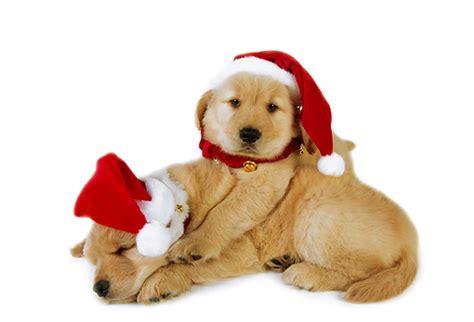 puppy golden retrievers with hats on golden retriever animal stock photos kimballstock