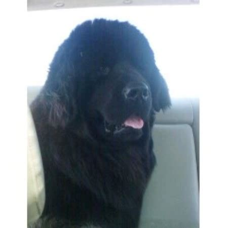 free puppies in des moines iowa of gold newfoundlands newfoundland breeder in des moines iowa