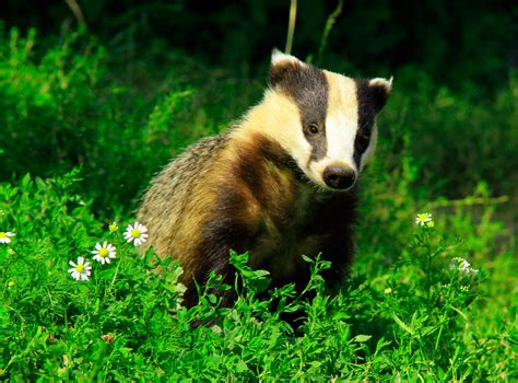 Badger Cull Petition by Petition Against Badger Cull Reaches 300 000 Signatures
