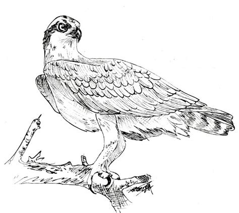 86 click the osprey bird coloring to watch the full