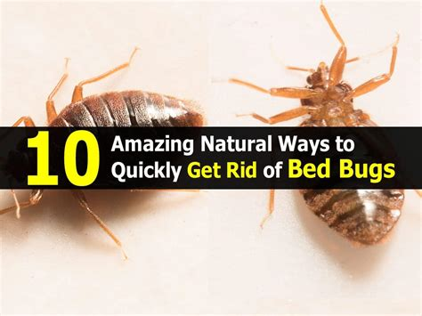 amazing natural ways  quickly  rid  bed bugs