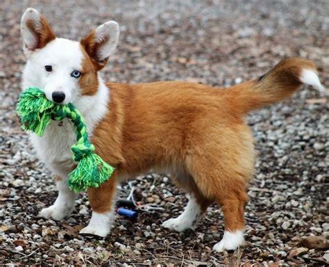 aussie corgi puppies aussie corgi breed information