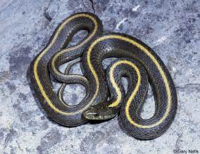 Red snake with black and yellow stripes