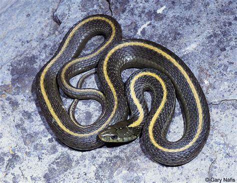 Garden Snake With Yellow Stripe Black Snake With Yellow Horizontal Stripes
