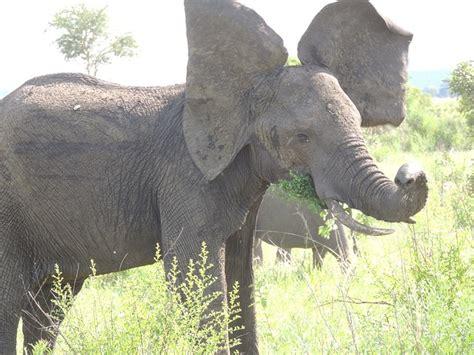free photo elephant big ears elephant ears free image on pixabay 175928