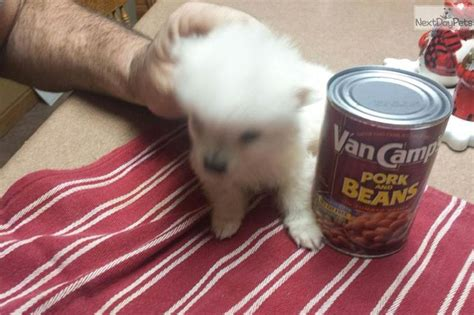 teacup pomeranian puppies for sale in chennai 17 best images about cutest tiny puppies for sale on morkie puppies for