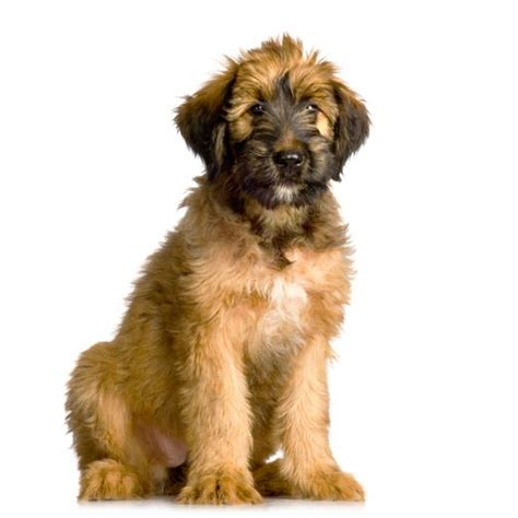 briard puppy briard breed information noah s dogs