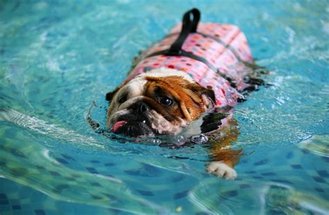 breeds that can t swim they don t like water pets world 6 things not to do when taking your swimming pawculture