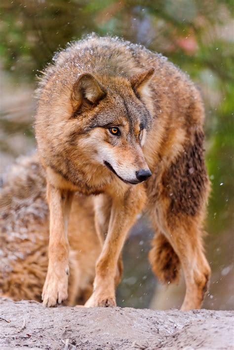 wolf    side  picture   standing wolf