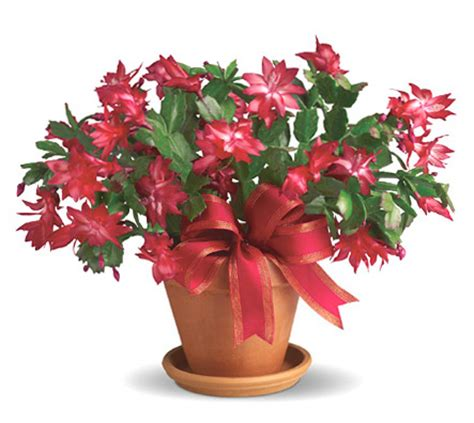 virtual christmas cactus at iflowers christmas gifts