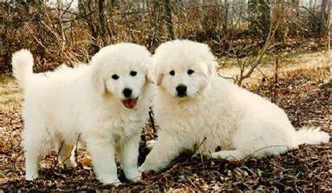 maremma vs golden retriever 17 best images about kuvasz on navidad mans best friend and puppys