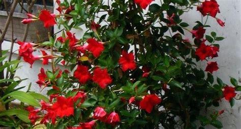 pianta con fiori la pianta ricante ricanti la pianta ricante