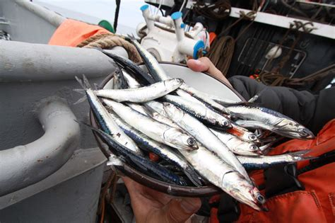 peru seafood fishing industry companies d j info peru s poor anchovy catch tightens global fishmeal squeeze
