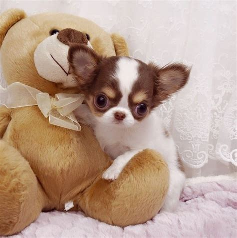 chiwawa puppies 25 best ideas about teacup chihuahua on teacup chiwawa chihuahua puppies
