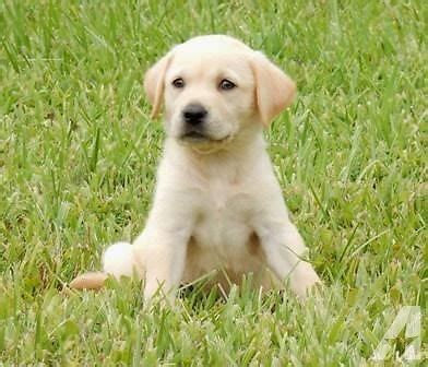 yellow lab puppies for sale in florida akc yellow labrador retriever puppy for sale in fort meade florida classified
