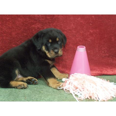 barnes puppy kennels puppies for sale rottweiler rottweilers rotts rotties