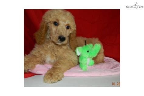 orange county indiana poodle rescue poodle standard puppy for sale near south bend michiana