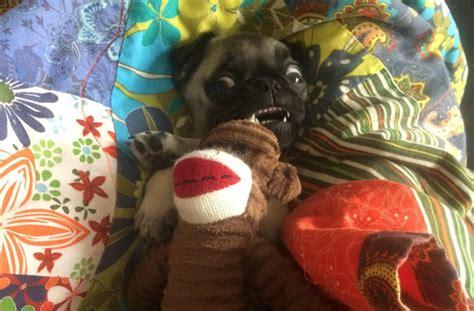 yorkie bad breath 7 breeds with the worst teeth barkpost
