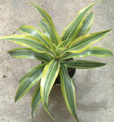 house plants for low light dracaena house plant mania pinterest