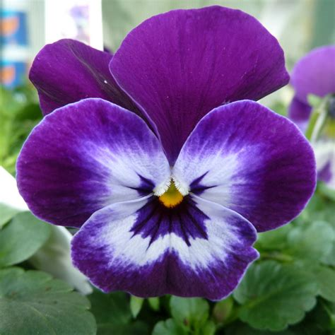 buy pansy viola primrose autumnwinter bedding plants
