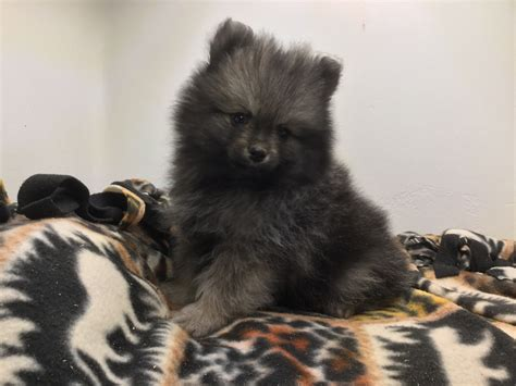 pomeranian puppies for sale in portland oregon puppies for sale pomeranian pomeranians poms f category in portland oregon