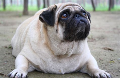 thyroid disease in dogs how to treat thyroid problems in dogs guide