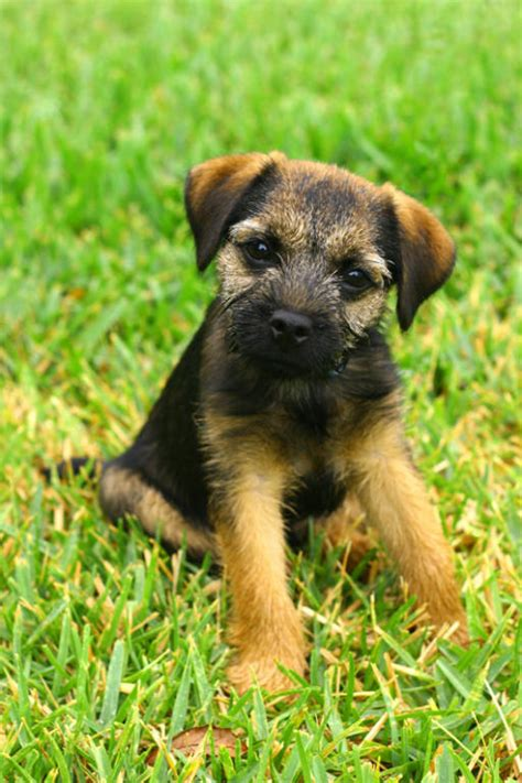 border terrier puppies mr puppy pictures