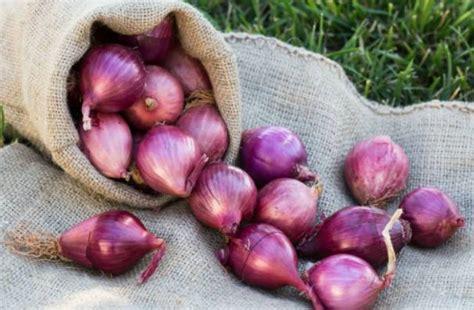 Bibit Bawang Merah Berkualitas cara membuat bibit bawang merah bibit unggul