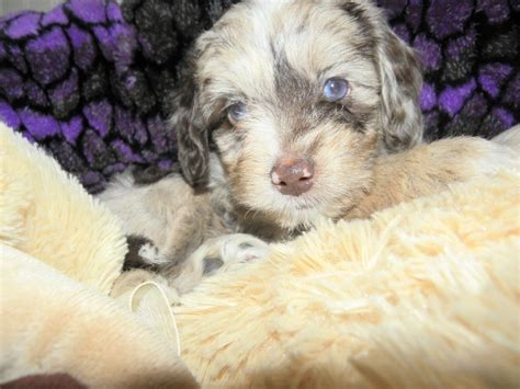dogs for sale in oregon miniature miniature poodle puppies for sale oregon clinic breeds picture