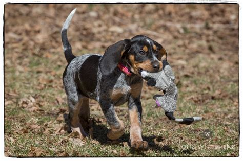 puppies with blue for sale blue tick hound puppies for sale