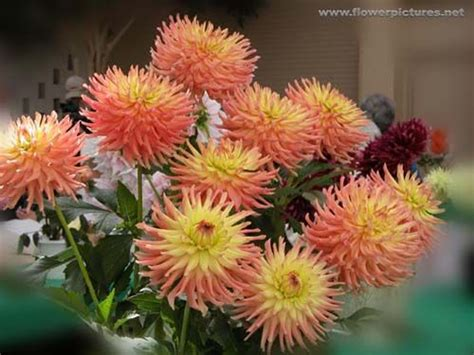 photos of colombia flowers dahlia 17 best images about flora y fauna de colombia on