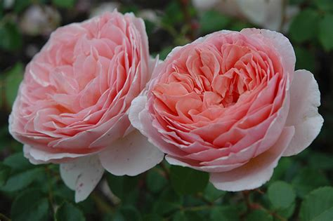 Austin Home Decor abraham darby rose rosa abraham darby in wilmette