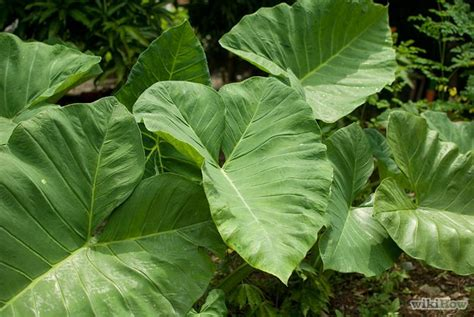grow elephant ear plants flowers i want and love pinterest