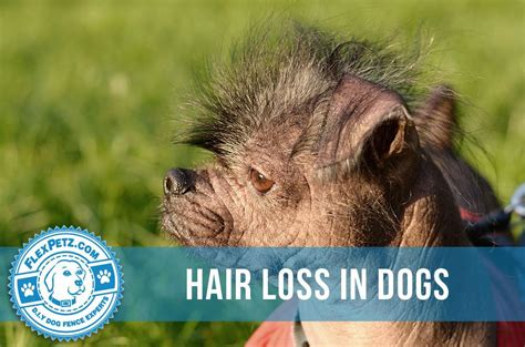 what causes hair loss in dogs hair loss in dogs