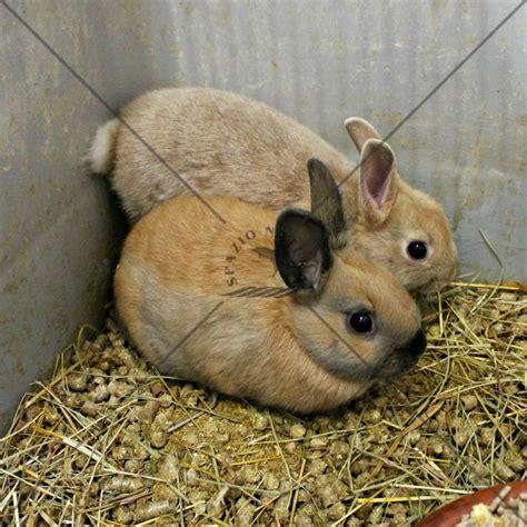 coniglietti nani testa di oltre 1000 idee su coniglietti nani su