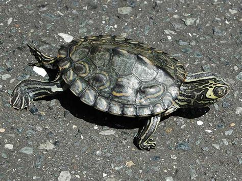 barbour s map turtle care and history
