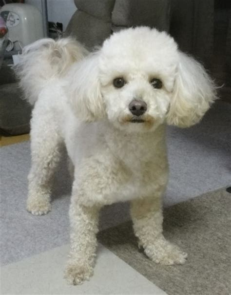 poodle mix dog hair cut poochon grooming styles 60 best images about bichon