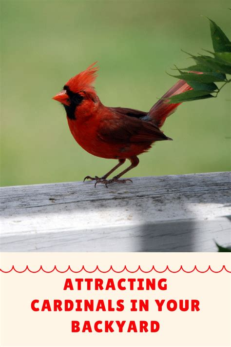 attracting backyard birds how to attract cardinals in your backyard mother2motherblog
