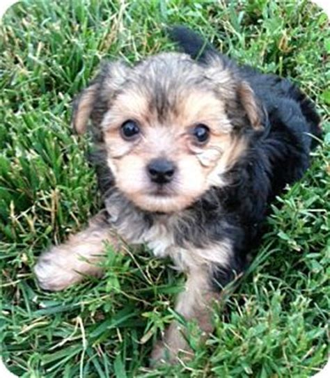 crested yorkie pet not found