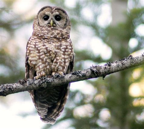 beautiful california spotted owl wise as an owl pinterest