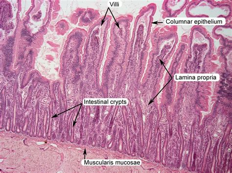 histology sectioning small intestine histology labeled lab practical pics