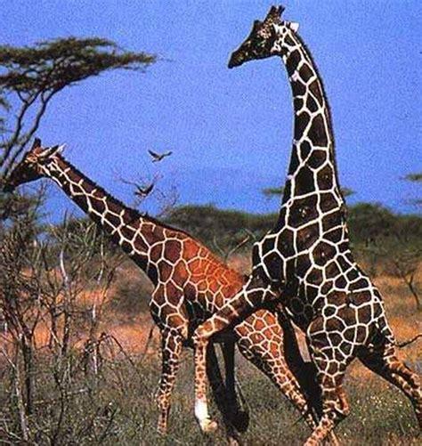 como se aparean los animales con humanos caracter 237 sticas de las jirafas